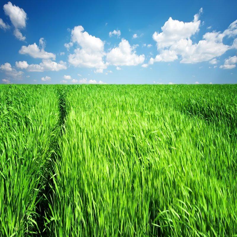 tall green grass field