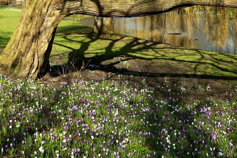 blick auf baum schatten im park und viele lila krokusse im. Black Bedroom Furniture Sets. Home Design Ideas