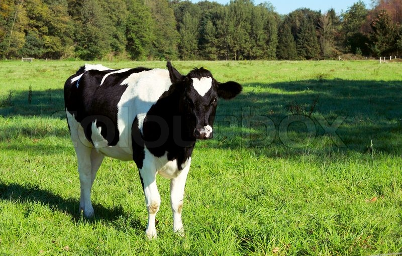 young black nad white cow stock photo colourbox
