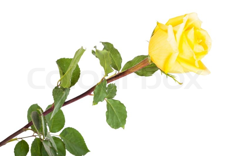 Single Rose Clipart: Single Yellow Rose On A White Background