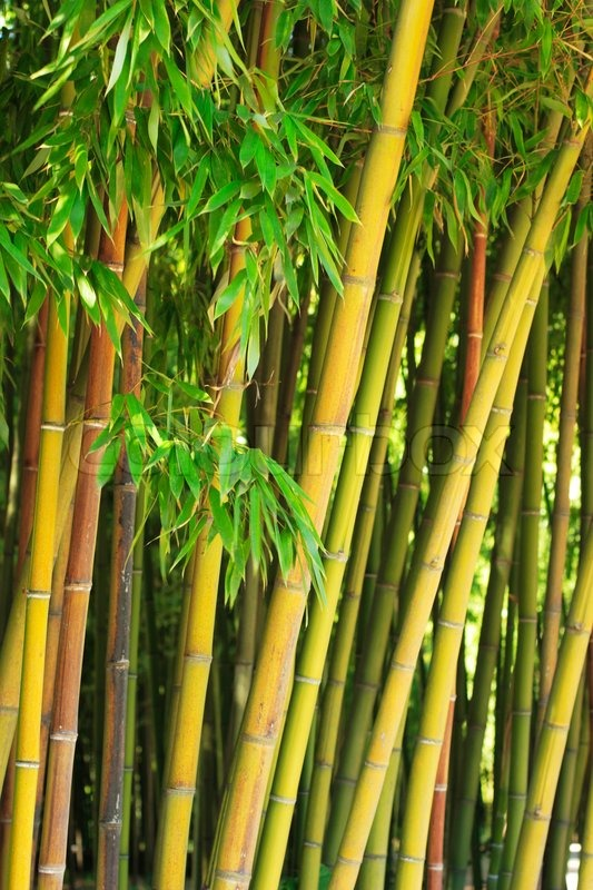 Bamboo Stcik People ~ Bamboo stalks with green leaves stock photo colourbox