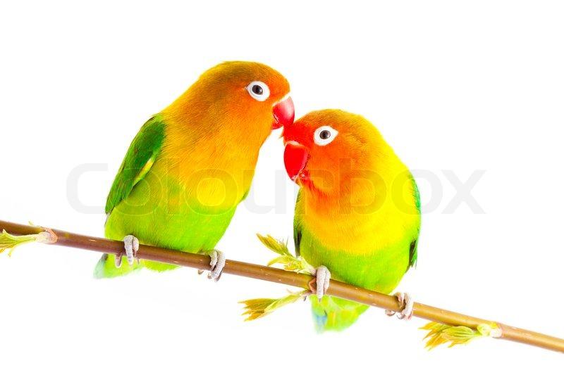 pair of lovebirds agapornis fischeri stock photo colourbox