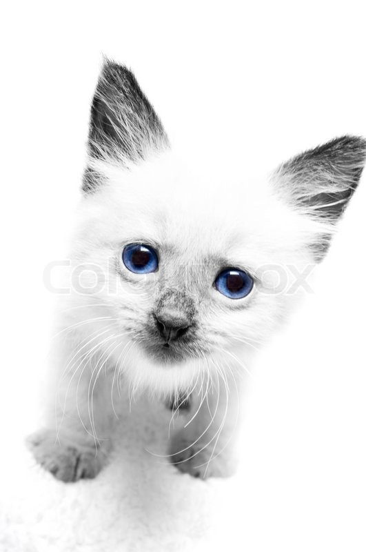 Kitten with blue eyes isolated on a Stock image