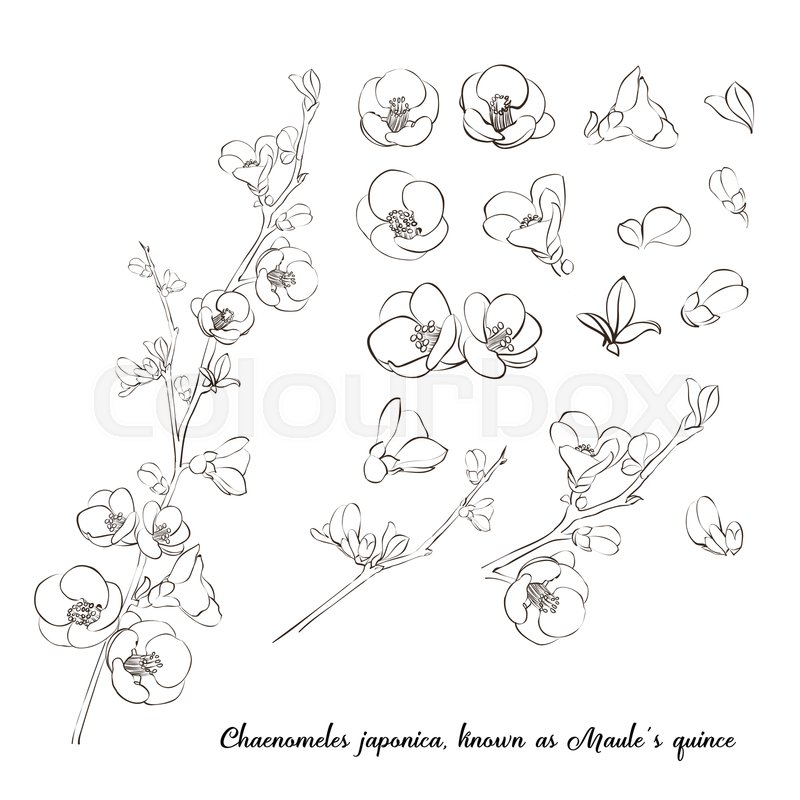 Chaenomeles Clip Art