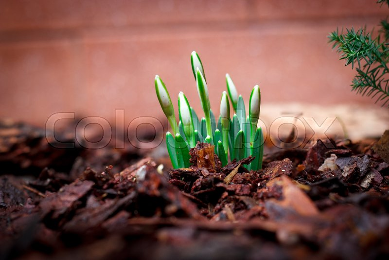 Lily Of The Valley Sprouts Sprout From Stock Image Colourbox