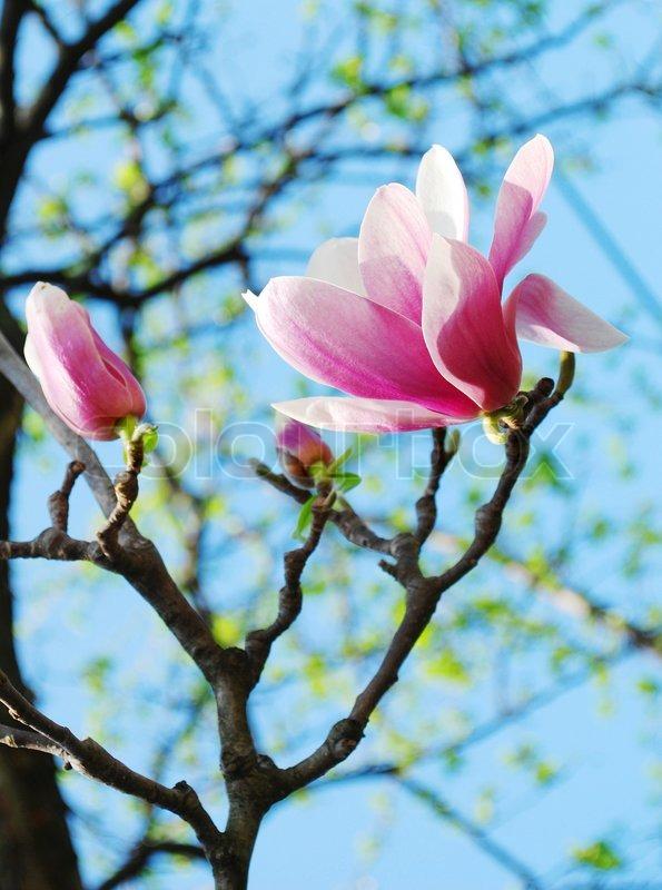 fr hling magnolie bl ten stockfoto colourbox. Black Bedroom Furniture Sets. Home Design Ideas