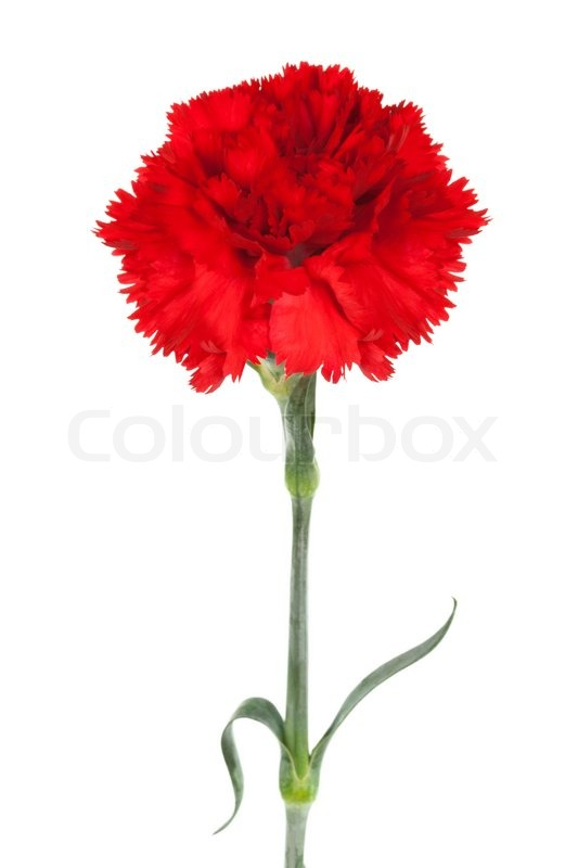 Red Carnation Stock Photo Colourbox