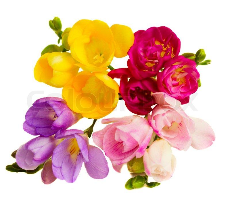 freesias flowers stock photo colourbox. Black Bedroom Furniture Sets. Home Design Ideas
