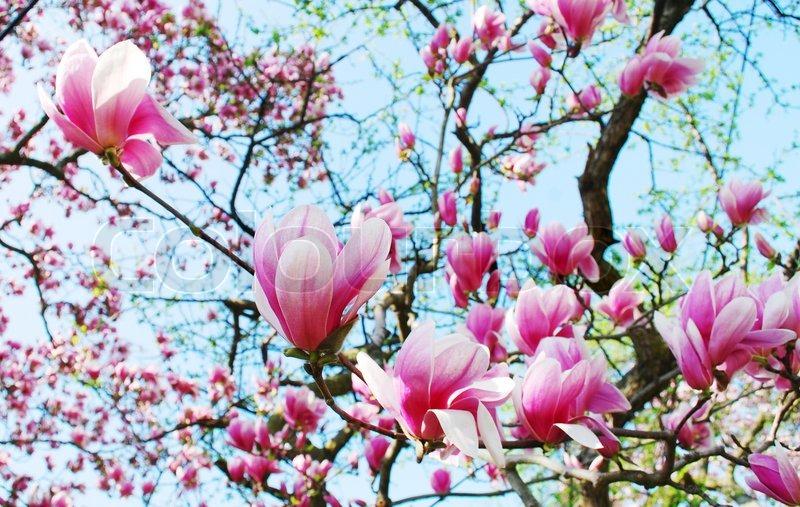 Spring Magnolia Tree Flowers Stock Image Colourbox