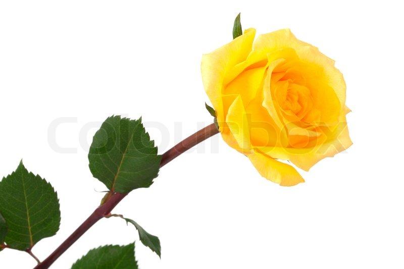 Single Rose Clipart: Stock Photo