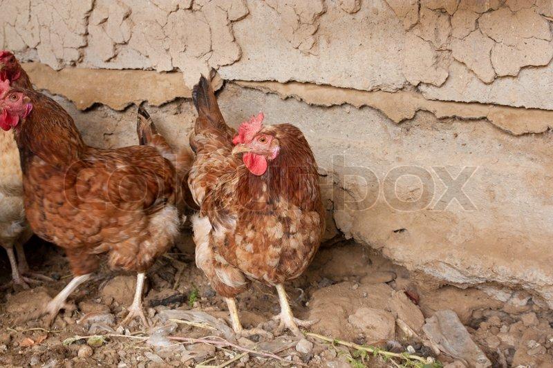 Rooster_bestjbs
