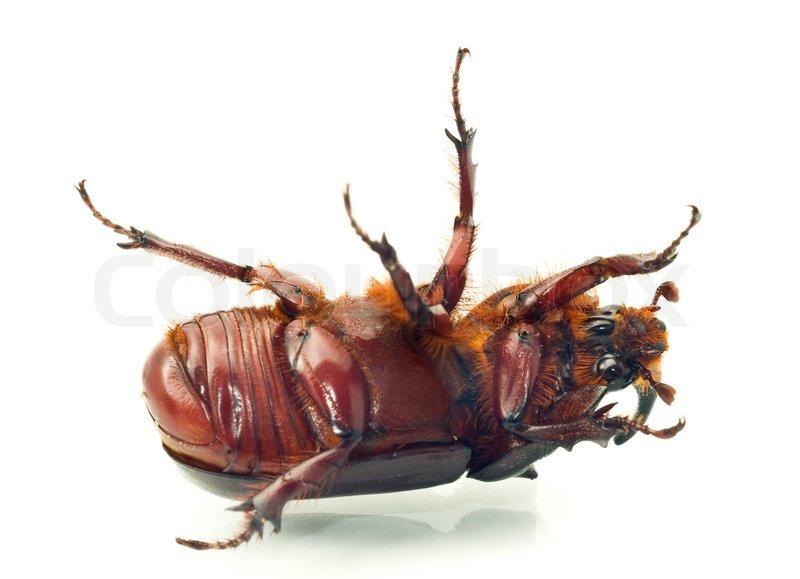 macro belly of rhinoceros or unicorn beetle stock photo colourbox