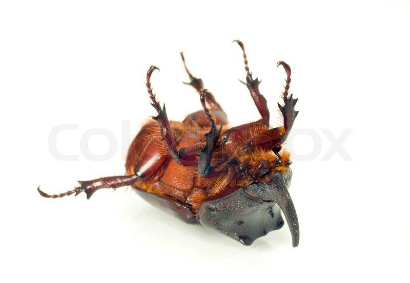 belly of unicorn or rhinoceros beetle stock photo colourbox