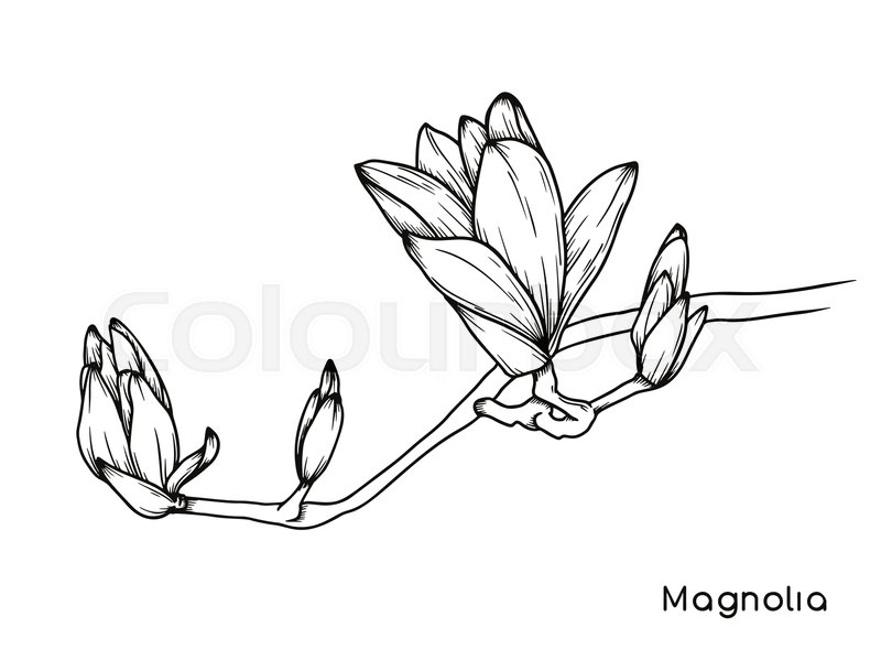 Magnolia Flowers Realistic Sketch Of Stock Vector Colourbox