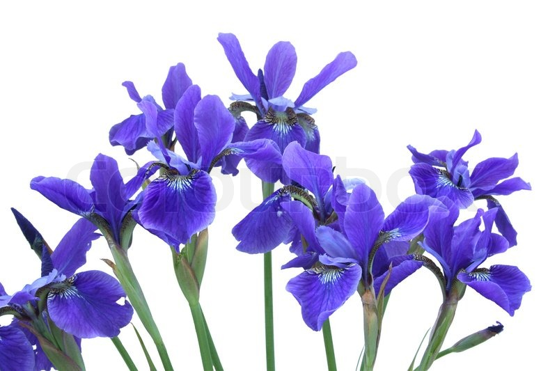 iris flower blue - Flowers Ideas