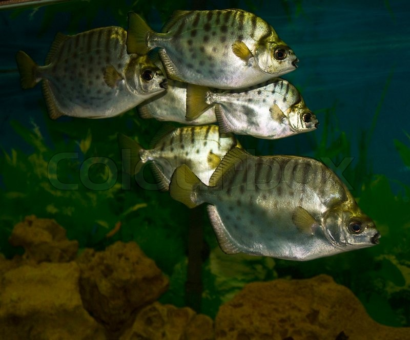 Tropical silver fish in water, recorded in aquarium | Stock Photo |  Colourbox