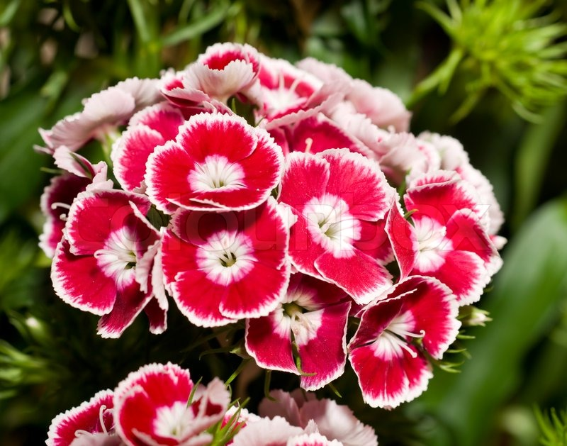 Beautiful carnation or pink flowers stock photo colourbox mightylinksfo