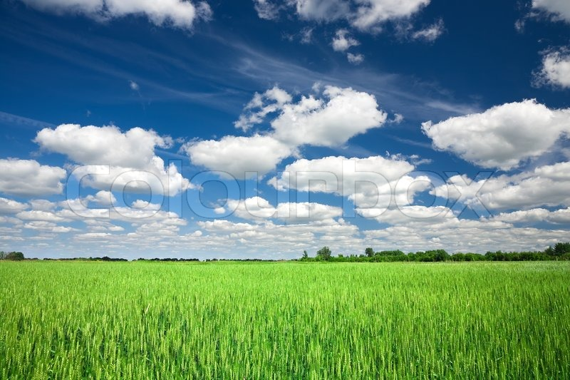 Field And Sky Background Green Wheat Field on Blue Sky