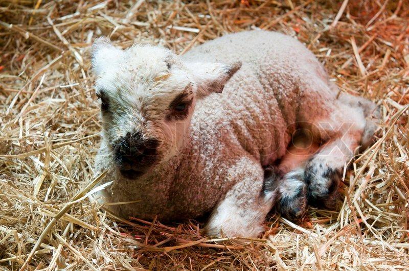Newborn lamb | Stock Photo | Colourbox