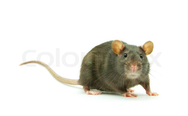 Сонник Мышь приснилась к чему снится во сне Мышь