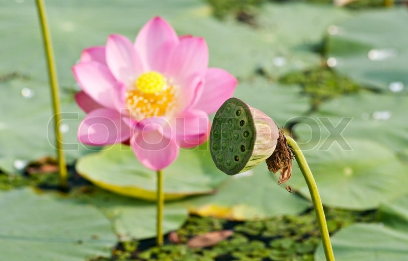 Sacred lotus flower living fossil close up stock photo colourbox mightylinksfo