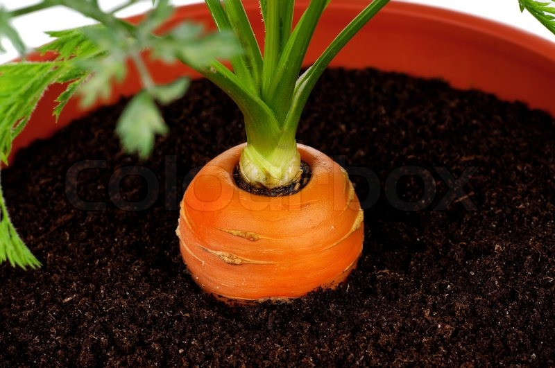 how to grow carrots in pots in india