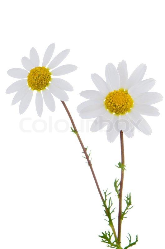 daisy flowers stock photo colourbox