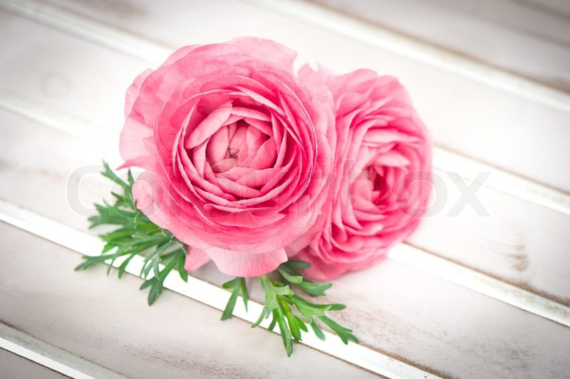 Stock image of 'Pink ranunculus flowers with green leaves'