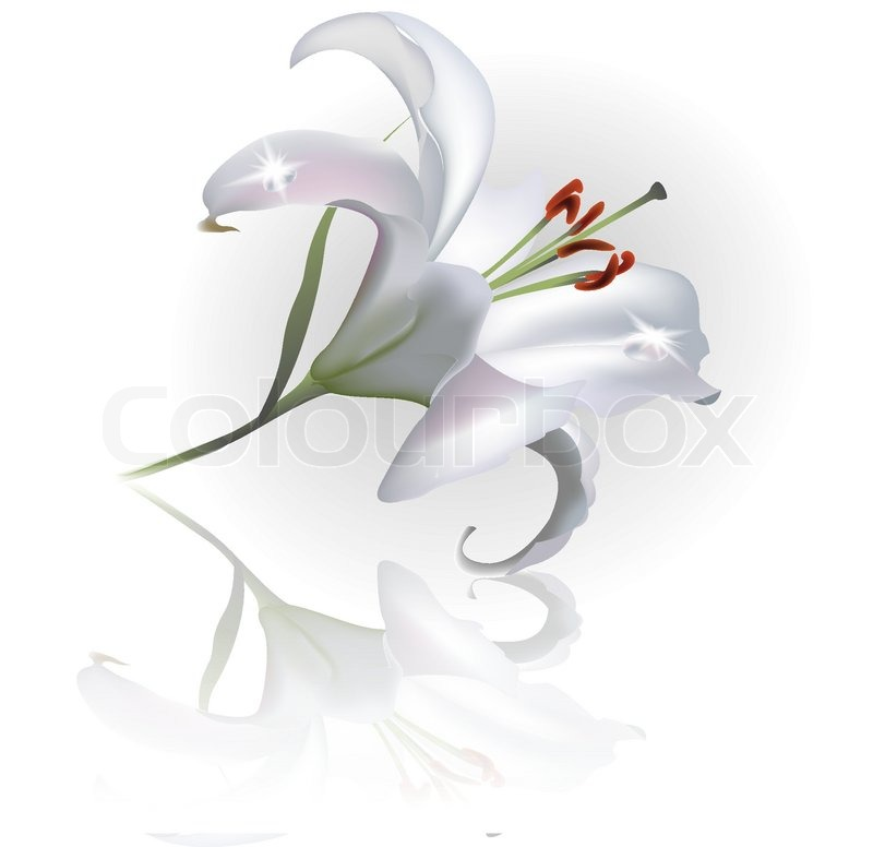 ... of 'White Lilly Flower Isolated on White Background. Vector clip-art