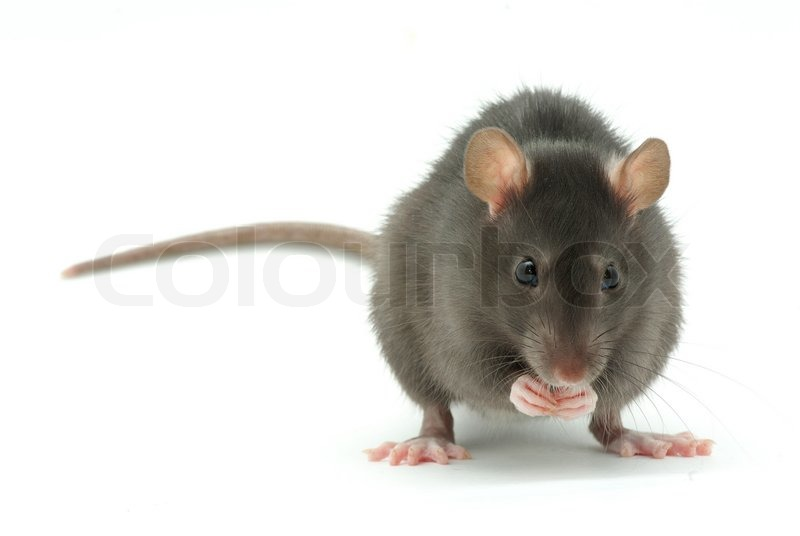 Stock image of 'Rat'