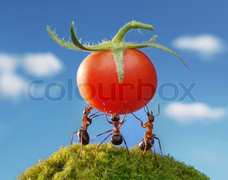 Ants carry fresh tomato, teamwork | Stock Photo | Colourbox