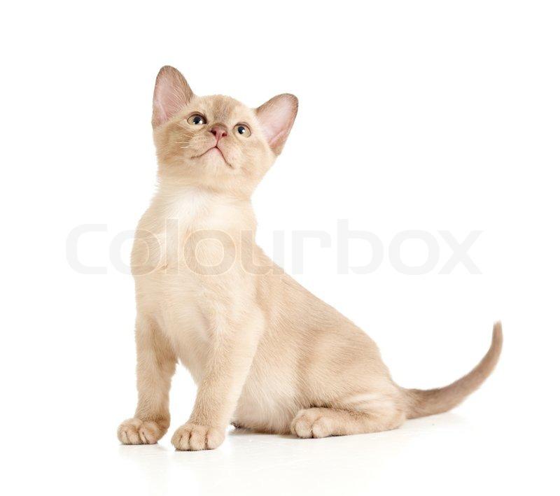 Burmese Cat Sitting On White And Stock Image Colourbox
