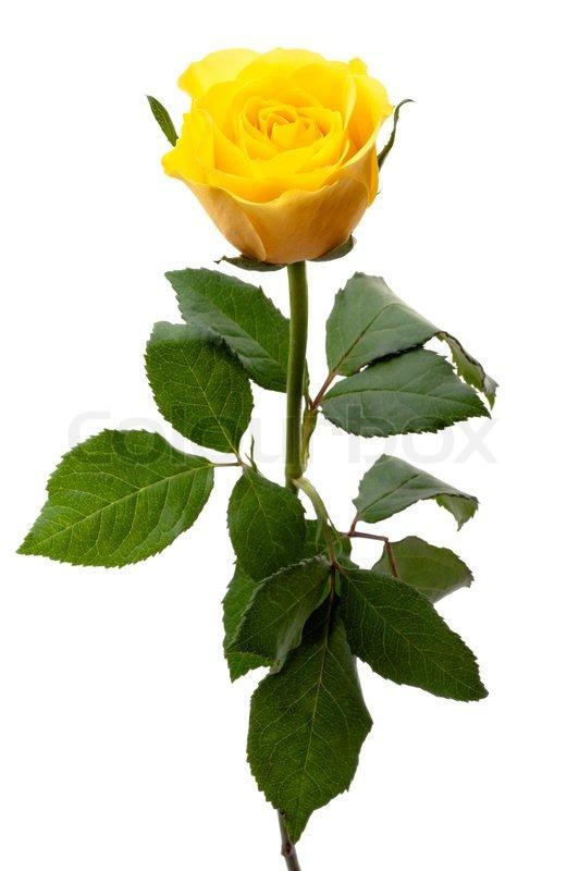 Single yellow rose | Stock Photo | Colourbox