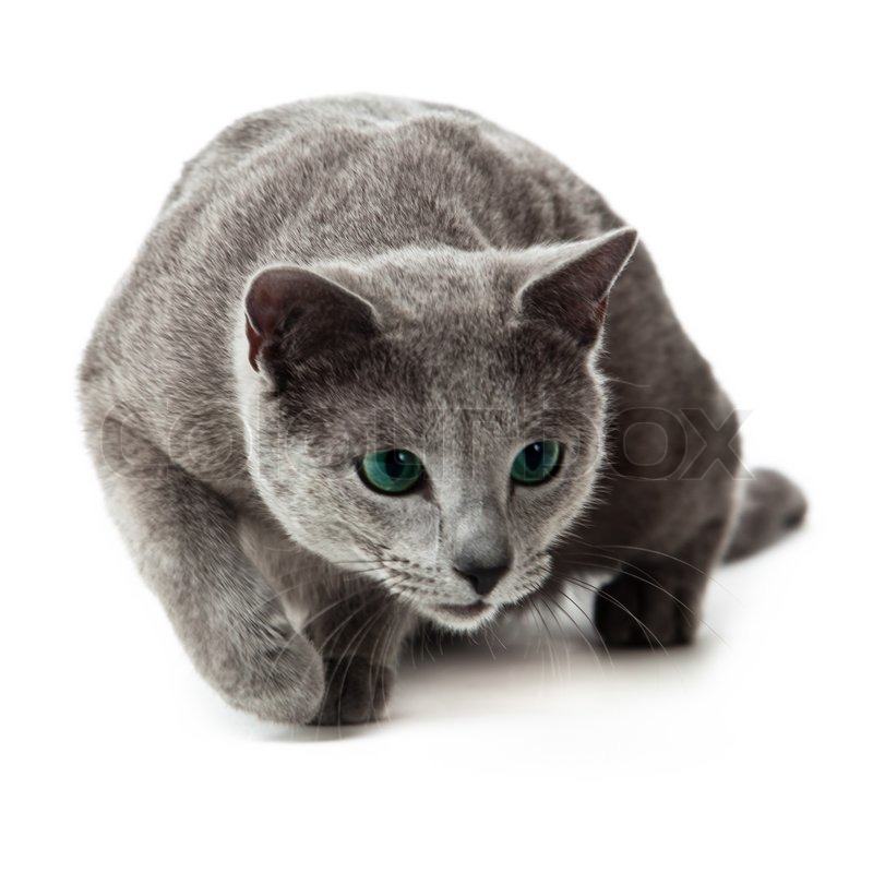 Russian Blue Cat On White Stock Image Colourbox