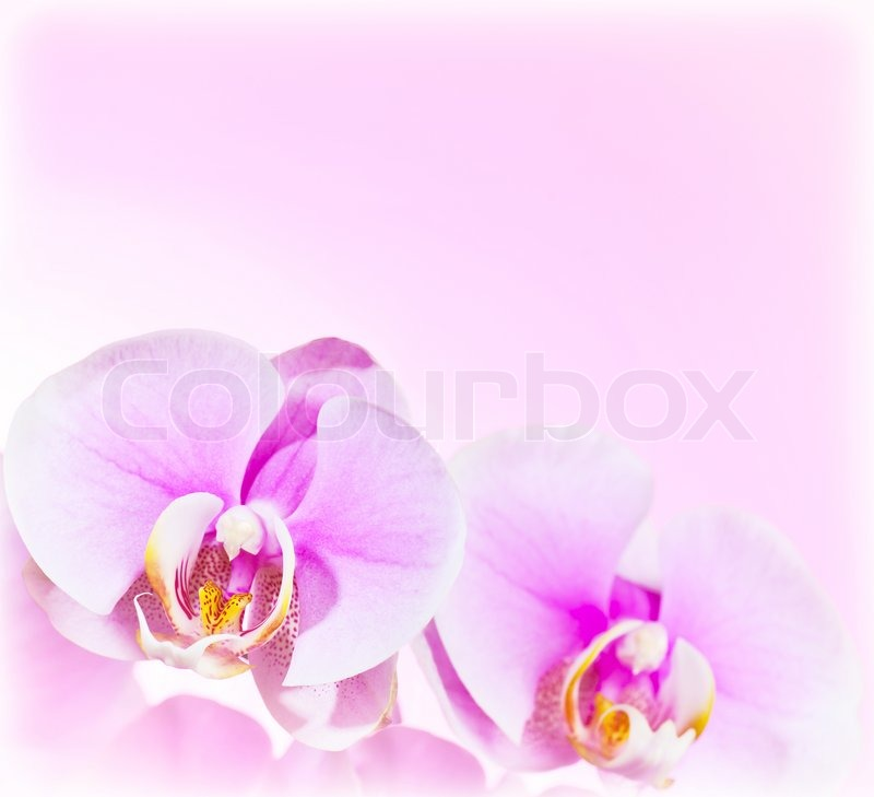 Stock image of 'Pink Orchid flower border'
