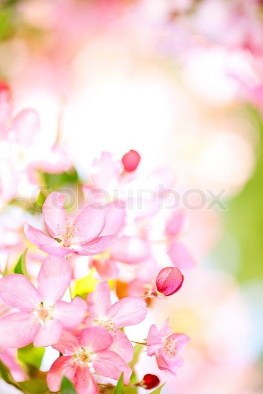Nature background with blossoming sakura branch royalty free stock - Sakura Flowers Blooming Stock Photo Colourbox