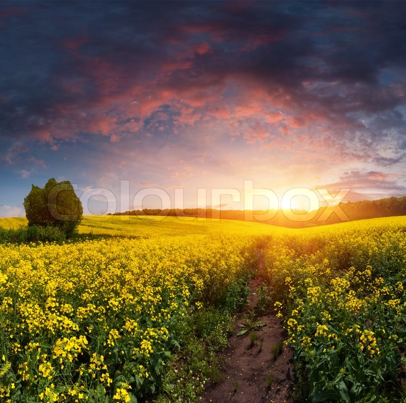 Summer landscape with a field of yellow flowers sunset stock photo summer landscape with a field of yellow flowers sunset stock photo colourbox mightylinksfo