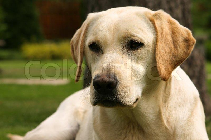 Yellow Lab Show Dog
