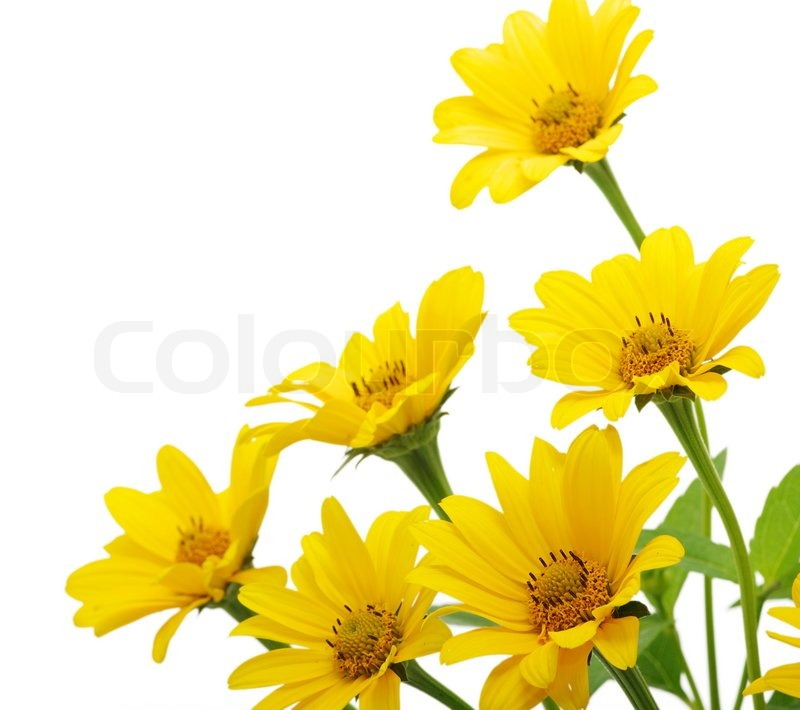 bunch of yellow daisy flowers on white background  stock photo, Beautiful flower