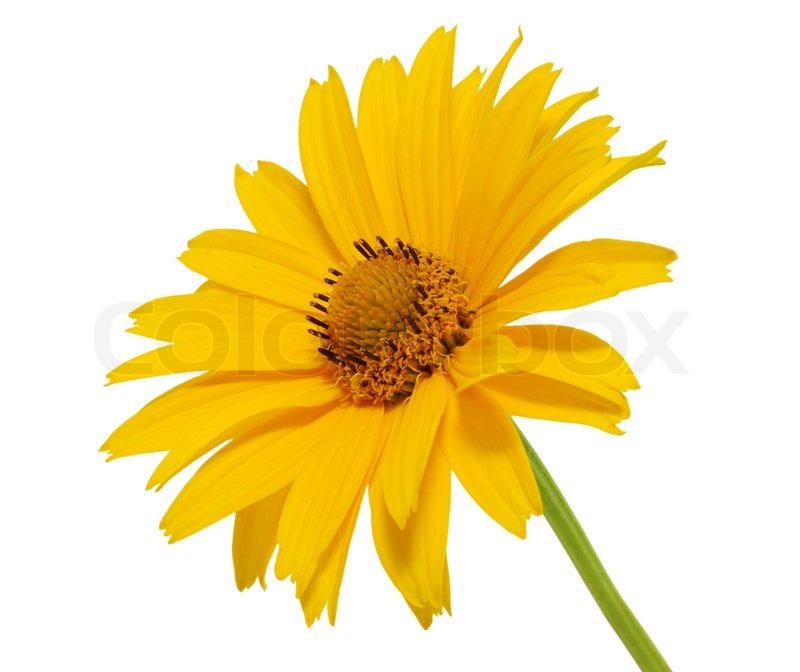 yellow daisy flower  stock photo  colourbox, Beautiful flower