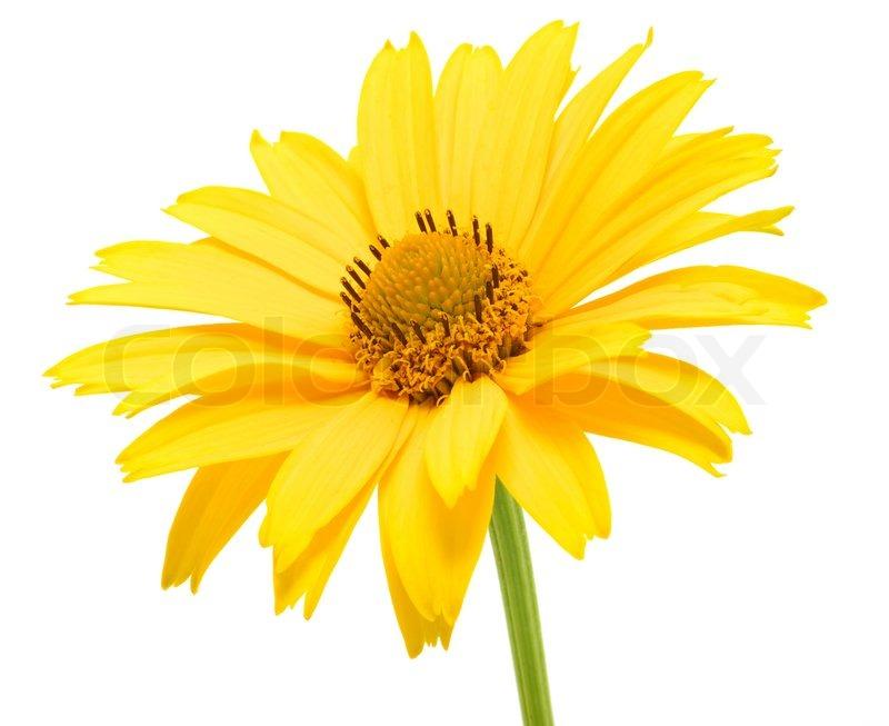 yellow daisy flower isolated on white background  stock photo, Beautiful flower