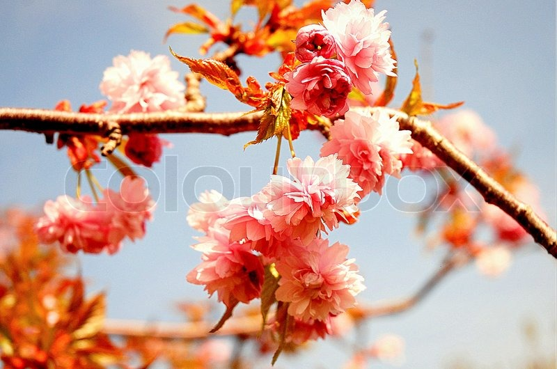 Fruit Tree Flowers Part - 39: Soft Fluffy Fruit Tree Blossoms
