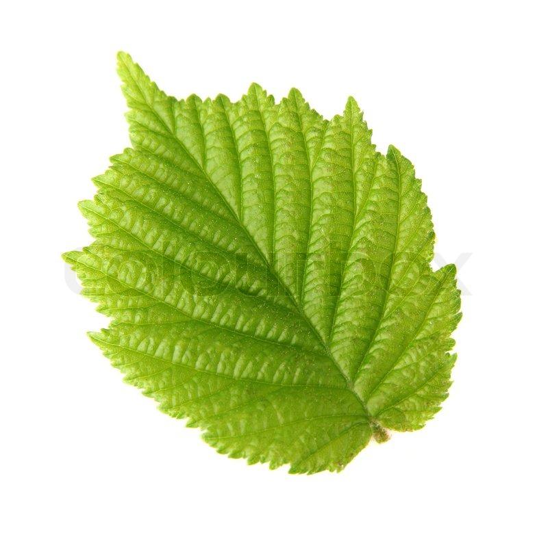 Leaf of hazelnut   Stock Photo   Colourbox