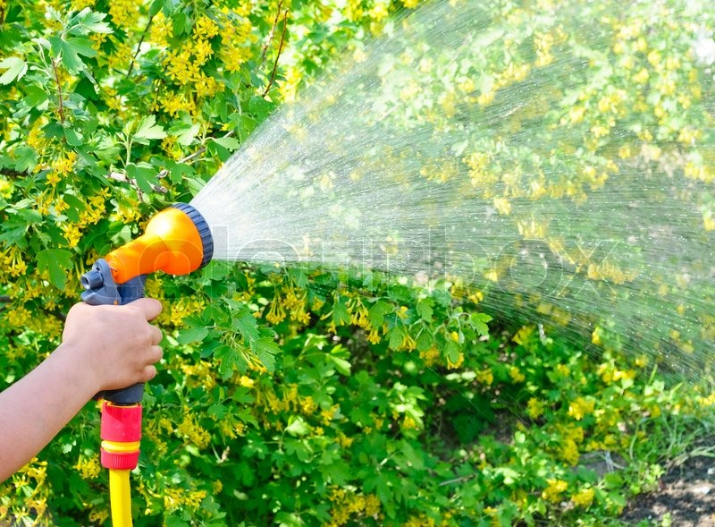 Watering The Garden With A Hose Stock Photo Colourbox