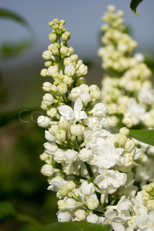 White lilac flowers stock photo colourbox mightylinksfo
