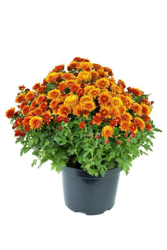 274 & Flower pot with orange chrysanthemum ... | Stock image | Colourbox