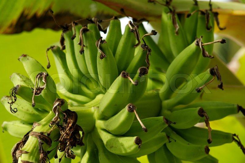 Green Bananas on Banana tree | Stock Photo | Colourbox