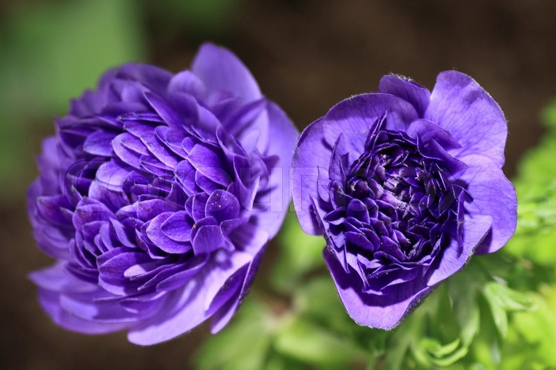 Blue anemone flower in the garden | Stock Photo | Colourbox