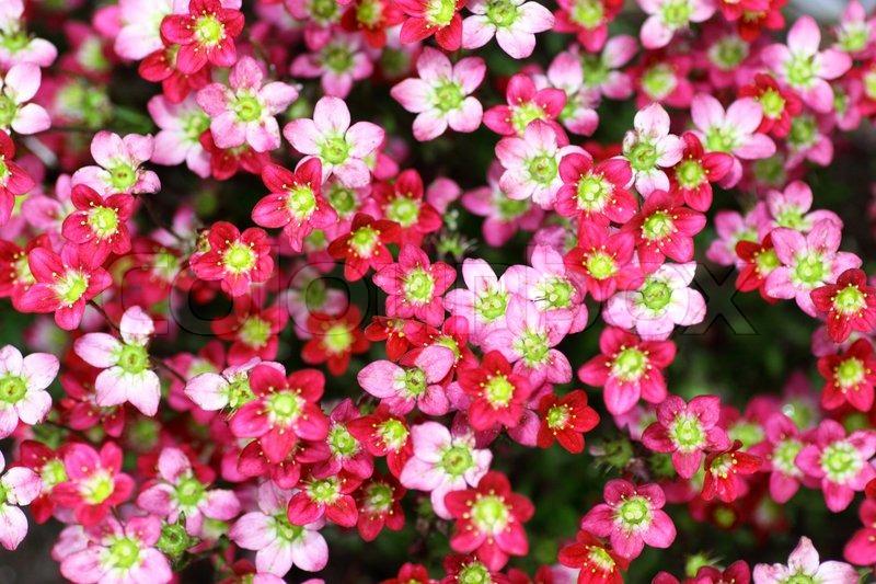 Macro Small Red Pink Flowers Saxifraga