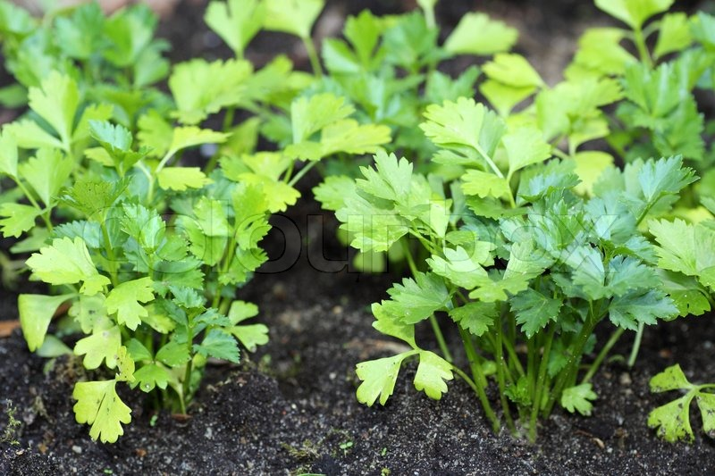 Herb pictures stock photos colourbox - Tips planting herbs lovage parsley dill ...